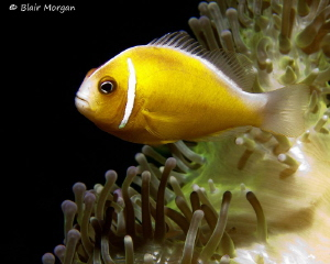 Anemonefish, Shark Reef Marine Reserve, Fiji Islands by Blair Morgan 